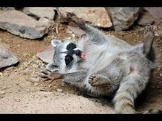 Funny Raccoon Videos 2014 [NEW HD] - YouTube