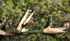 bamboo seeds for sale Bamboo Seeds, Seeds For Sale, Asparagus, Garden Tools, Yard Tools, Outdoor Power Equipment