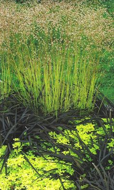 Image result for DESCHAMPSIA TATRA GOLD
