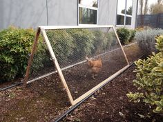 collapsable, portable tractor for letting chickens work in the garden! Brilliant.