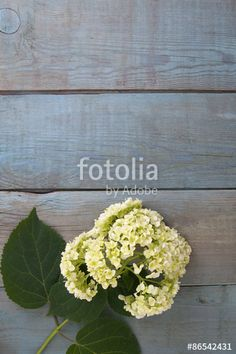 """Download the royalty-free photo """"Hydrangea flower on a wooden blue background.."""" created by Tseytlin at the lowest price on Fotolia.com. Browse our cheap image bank online to find the perfect stock photo for your marketing projects!"""