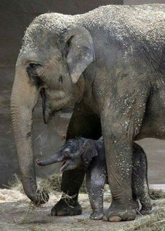"magicalnaturetour: "" Mama's boy Phoebe and her unnamed baby boy elephant play together in their enclosure at the Columbus Zoo and Aquarium in Ohio. Photo by Tom Dodge/AP :) "" Elephants Playing, Save The Elephants, Baby Elephants, Asian Elephant, Elephant Love, Newborn Elephant, Elephant Family, Mundo Animal, My Animal"