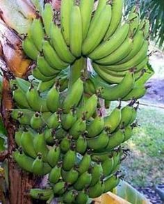 """Dwarf Cavendish Banana 5 Seeds - Musa acuminata by 9GreenBox. $1.49. Native to South China. Musa acuminata. Hand Pack by 9GreenBox. Temperate to tropical locations. Hardy Zones 9-11. Musa acuminata. Hardy Zones 9-11. Native to South China. Temperate to tropical locations. Open sunny location. Produces Yellow 5"""" Fruits. Wide leaved to 4' and suckers vigorously."""