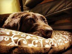 . . . . . . #cleo #doggo #huntingdog #germanwirehairedpointer #drahthaar