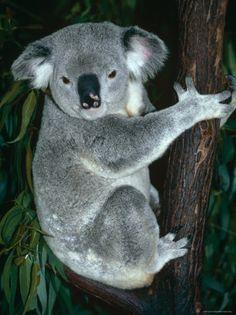 Koala Koala Koala Koala Koala Koala Koala Koala Koala