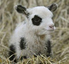 lamb with panda-like black eyes