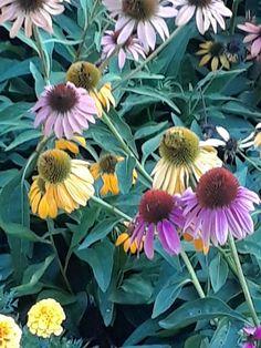 Coneflowers, Missouri Botanical Garden, August 2021 Missouri Botanical Garden, Botanical Gardens, Plants, Plant, Planets