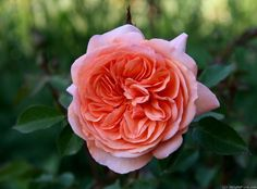 'Louise Clements ' Rose Photo