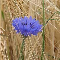 Centaurea Cyanus (common cornflower) self seeding, hardy, annual likes a sunny well drained site