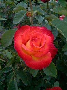 Cherry orange rose