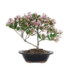 """Indian Hawthorne Bonsai Tree    An evergreen that originates in Asia, Indian Hawthorn trees sport glossy, leathery leaves with lightly serrated edges. Silvery bark creates a pleasing foil for the deeper hued foliage. Come spring, profuse pink blossoms emerge from branch tips in clusters, creating a tiny canopy of stars. This easy care bonsai is vigorous and a good choice for sites that are hot, humid and even a bit breezy. Blooms March - April. Ideal with 11"""" Humidity Tray"""