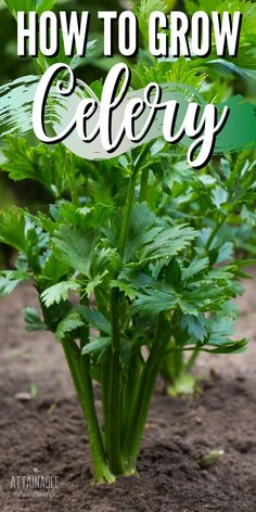 Growing celery in the home garden provides crunchy snacks and flavor for homemade soups and stews. Celery will provide a harvest – both leaves and stems – for months (or even a couple of years) making it a worthwhile addition to your garden plans. Raised Garden Beds, Raised Beds, Container Gardening, Gardening Tips, Dream Garden, Home And Garden, Herbal Magic, Backyard Vegetable Gardens, Grow Your Own Food