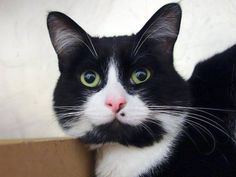 NYACC ***URGENT** HANDSOME TUXIE GUY!!*** TO BE DESTROYED 7/15/14 Manhattan Center  My name is MOLE. My Animal ID # is A1005541. I am a male black and white domestic sh mix. The shelter thinks I am about 2 YEARS.   https://m.facebook.com/photo.php?fbid=830898153588685&id=155925874419253&set=a.576546742357162.1073741827.155925874419253&source=43