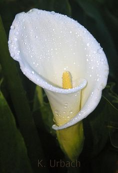 Calla Lily Tattoos | Pin Photobucket Calla Lily Tattoo Pictures Images on Pinterest