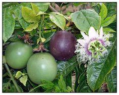 Pasyonaryo, Passiflora edulis, PASSION FRUIT, Ji dan guo ...