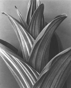 False Hellebore 2 by Imogen Cunningham History Of Photography, Still Life Photography, Artistic Photography, Macro Photography, Flower Photography, White Photography, Portland, Straight Photography, Imogen Cunningham