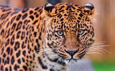 #1698939, leopard category - wallpaper desktop leopard