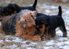 Airedale Terrier Asquith in February 2013 being helped with his first bone by his wonderful mother, Dana. Photograph by Jo Pemble
