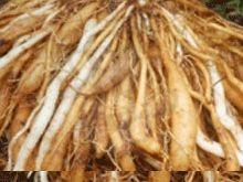 Health benefits of shatavari , Ayurveda benefits of shatavari , benefits of shatavari