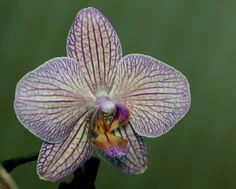 """""""Phalaenopsis Orchid"""""""