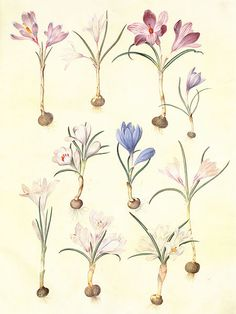 Spring Crocus and Dutch Crocus (Crocus vernus L. and Crocus flavus Weston), gouache on vellum.   Taken from Gottorfer Codex (1649-1659).  Author Hans-Simon Holtzbecker - Wikimedia