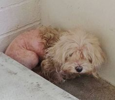 RTO but SAFE? This is the most I could get her to look up after 1 day in the shelter. She is scared and hiding in the corner, she is missing the hair on the lower half of her body and this angel needs help. Please take another look and share.   #A4751088 I'm an approximately 5 year old female maltese. I am already spayed. I have been at the Carson Animal Care Center https://www.facebook.com/171850219654287/photos/pb.171850219654287.-2207520000.1409636985./302743513231623/?type=3&theater