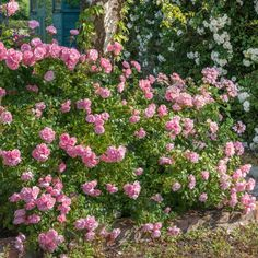 A very pretty, yet tough rose, bearing dainty clusters of flowers. Buy Bonica from David Austin with a 5 year guarantee and expert aftercare. Bonica Rose, Custom Sheds, Types Of Roses, Shrub Roses, Top Soil, David Austin Roses, Shed Design, Shed Storage, Wonderful Things