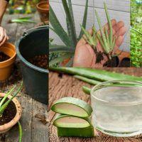 8 Formas naturales de bajar la presión arterial en cuestión de minutos - Doctor Salud Diabetes, Plants, Growing Aloe Vera, Organic Coconut Oil, Avocado Seed, Tomato Plants, Diabetic Living, Planters, Plant