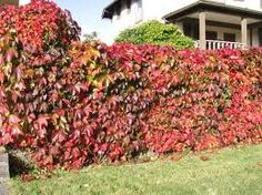 Parthenocissus Quinquefolia (Virginia Creeper) | these vines do very well in northeast Colorado | Zones 3-9 | grows quickly | small flowers that turn to berries (insignificant) | green in summer, blazing red color in fall | Colorado Xeriscape