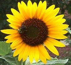 Sunflower, Annual