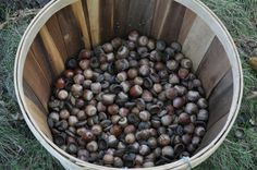 my interest in Acorns lies in the natural mordant abilities. I use Acorns to set dyes with cotton and linen fabrics. So as I gather Acorns, I collect the caps, the shells, and the nut with the shell since all parts of the Acorn contain tannin. Fabric Yarn, How To Dye Fabric, Natural Dye Fabric, Natural Dyeing, Textile Dyeing, Dyeing Fabric, Fibre And Fabric, Spinning Yarn, Be Natural