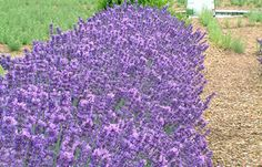 Loddon Blue An excellent short hedging lavender with fragrant mid-purple-blue flowers above grey-green foliage. Height 45cm (18in). Introduced in 1963. Size: 9cm pot.  (Very hardy lavender  angustifolia) EG