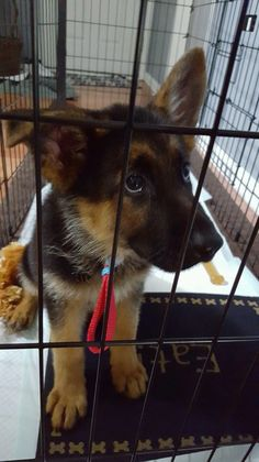 Our new GSD baby, 10 weeks old.