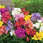"Mixed Fragrant FreesiasHeight: 10-15"" Bloom Time: Early Summer Zones: 3 to 10Planting Requirements:	Plant 1-2"" deep. They can be planted in pots any time from Oct. to Jan. in a cool greenhouse (45 -55 degrees F) for best blooming. Outdoors, in spring plant in moist but well drained soil in full sun. Soil Requirements:	Soil based potting mix with added grit; outdoors - moderately fertile soil but well drained."