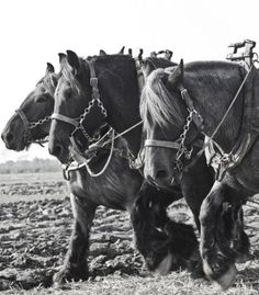 """orplid: """" Country Life ….. Winter-ploughing with Heavy Horses in a ploughing competition, the Netherlands """""""