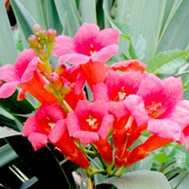 Campsis Plant - Madame Galen