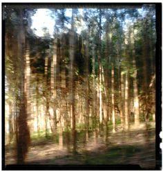 Floresta de Pinos no município da Lapa