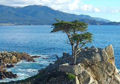 The Lone Cypress Tree near Monterey is probably the most famous point along the 17-Mile Drive, a scenic road through Pacific Grove and Pebble Beach.