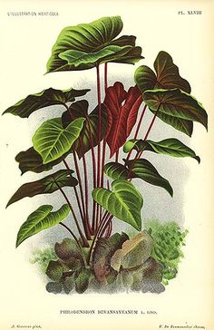 philodendron ILLUSTRATION - Pesquisa Google