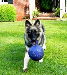 Shaylee, Shiloh Shepherd, 6 months old