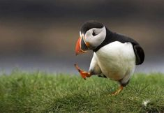 Puffin on some grass - Imgur