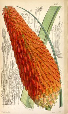 Red Hot Poker - Kniphofia uvaria - circa 1854