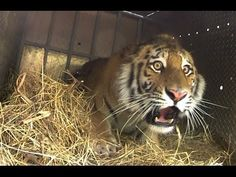One one the most beutiful creatures ever. They have to survive!!! ▶ Epic Tiger Release in Far East Russia - YouTube