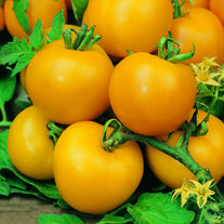 Tomato (Standard) Golden Sunrise Seeds