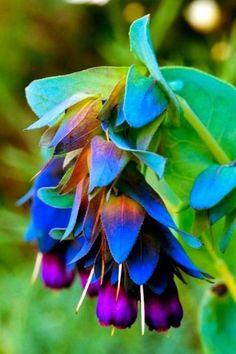 cerinthe blue shrimp pride of gibraltar . Purpurascens Seeds ★ Pride of Gibraltar Honeywort Blue Shrimp Strange Flowers, Unusual Flowers, Unusual Plants, Exotic Plants, Amazing Flowers, Blue Plants, Wax Flowers, Pretty Flowers, Purple Flowers