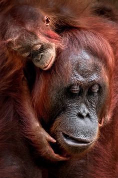 Check out the fabulous winners of the 2020 Sony World Photography Awards Open contest. All category winners and shortlisted entries are now online. World Photography, Photography Awards, Animal Photography, Street Photography, National Geographic, Baby Orangutan, Chimpanzee, Mother Dearest, Photo Awards