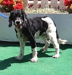 My name is Molly!Cocker Spaniel Mix Dog for adoption in Toluca Lake, California - Molly