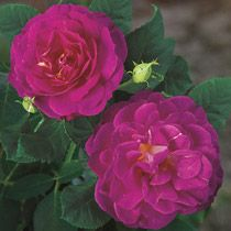 Outta the Blue™ Shrub Rose Heady fragrance, a delightful mix of spicy cloves and sweet tea rose, attracts you to this shrub even before you can see the lavish bloom clusters in myriad shades of blue: plum, purple, lavender and magenta. - See more at: https://www.brecks.com/product/Shrub_Rose_Outta_the_Blue_#.dpuf