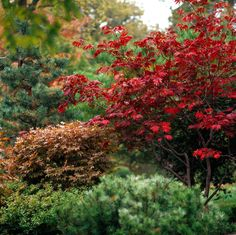 Japanese maple trees add grace and beauty through the seasons. While the Bloodgood Japanese maple is a tried-and-true specimen, consider some of our favorite varieties, including dwarf Japanese maple, that feature a spectacle of vibrant leaf color. Bloodgood Japanese Maple, Dwarf Japanese Maple, Japanese Maple Garden, Japanese Maple Tree Varieties, Acer Palmatum, Leaf Coloring, Garden Trees, Trees And Shrubs, Flowering Trees