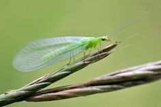 A delicate green lacewing